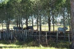 Le vacche maremmane nella pineta