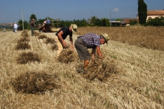 Lavori tradizionali:trebbiatura del grano