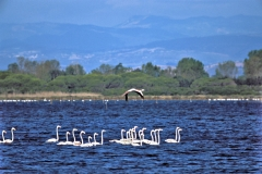 fenicotteri-animali-laguna-orbetello-patanella