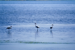 orbetello-animali-patanella-fenicotteri-laguna