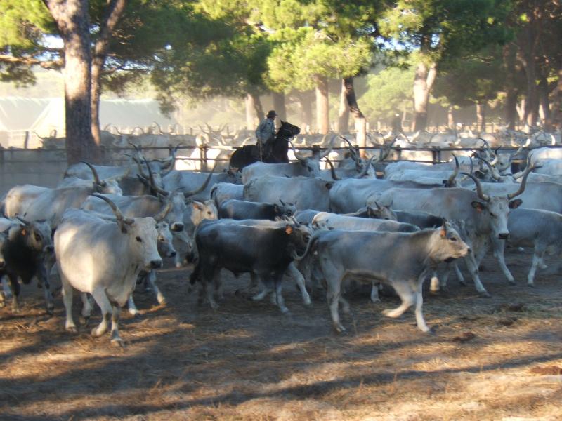 Dimostrazione di sbrancamento dei vitelli