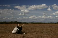 foto-g-anselmi-toro-maremmano