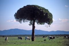 parco-vacche-animali-pino